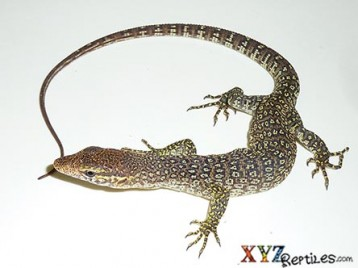 Timor Monitor For Sale