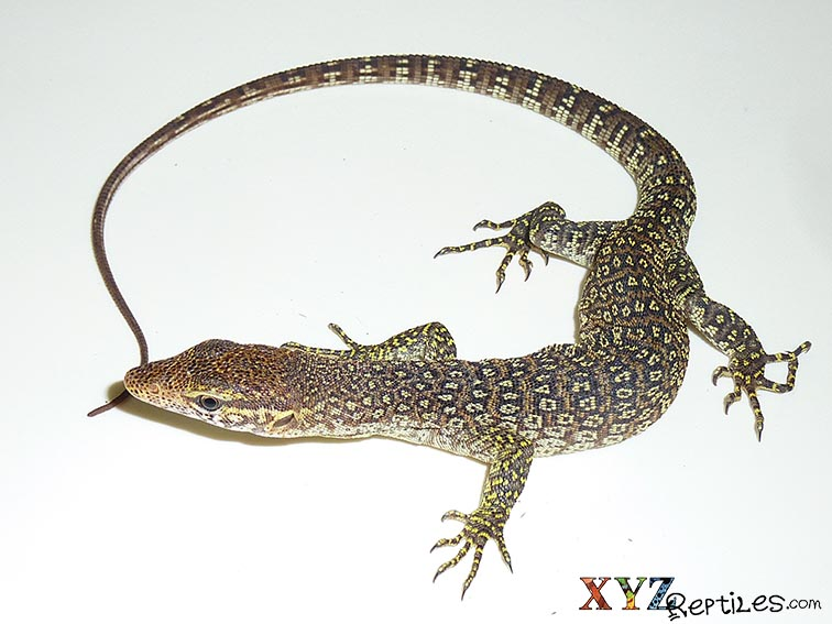 Have You Tried Keeping Small Monitor Lizards As Reptile Pets