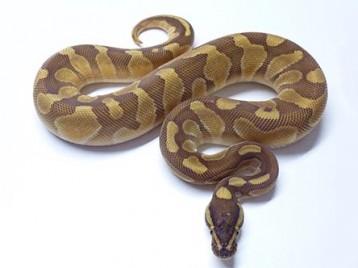 Baby Enchi Lesser Ball Python