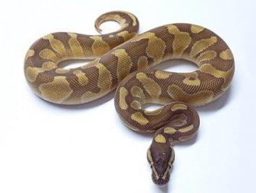 enchi lesser ball python