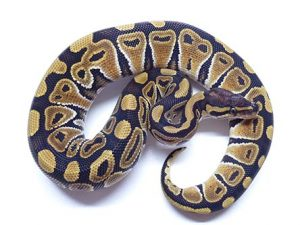 Baby Mocha Ball Python