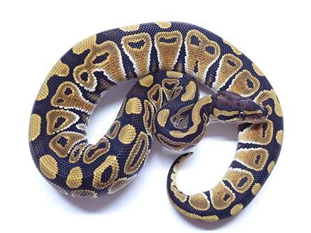 mocha ball python