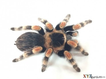tarantulas for sale