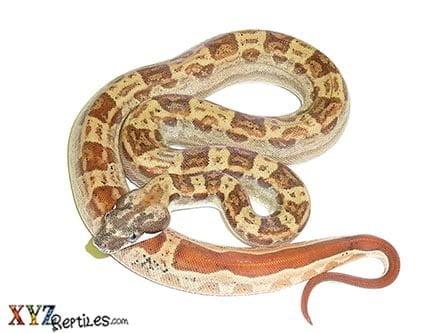 Baby Hypo Motley Boa Constrictor