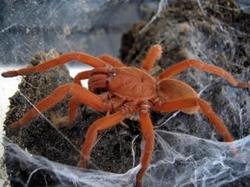 philippine tangarine tarantula