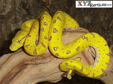 Aru gree tree python