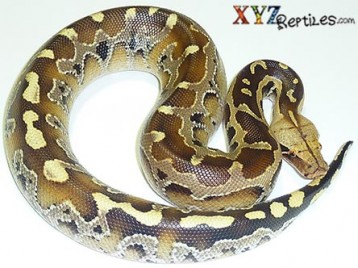 Borneo Short Tail Python