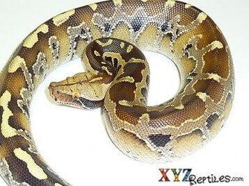 Borneo Short Tailed Python