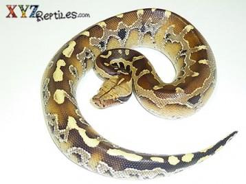 Baby Borneo Short Tailed Python