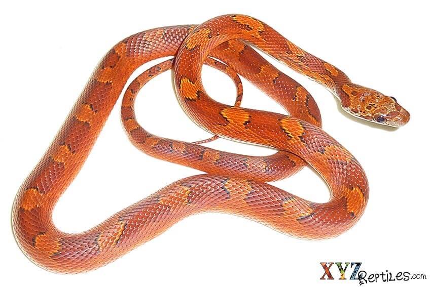 corn snake morphs