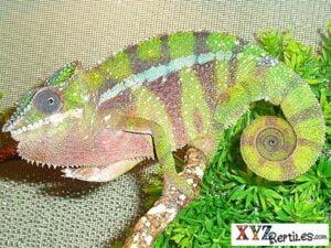 Adult Ambilobe Panther Chameleon