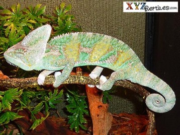 Adult Translucent Veiled Chameleon