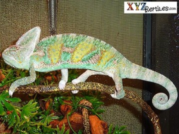 Adult Translucent Veiled Chameleon