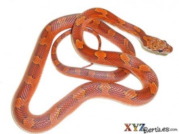 blood red corn snake