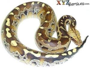 borneo blood python for sale