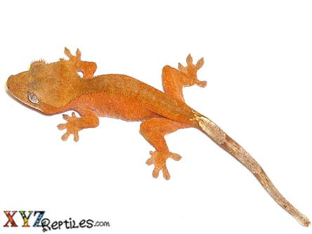 Crested Gecko (Copy)