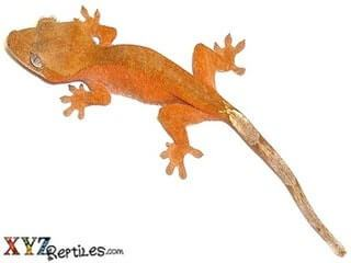 Geckos For Sale