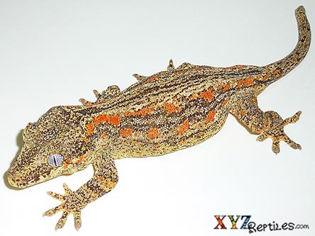 Adult Gargoyle Gecko