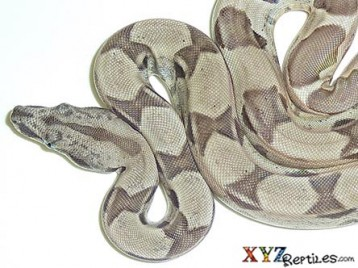 Baby Ghost Boa Constrictor