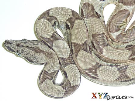 ghost boa constrictor