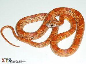 Hypo Corn Snake