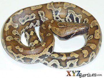 red blood python