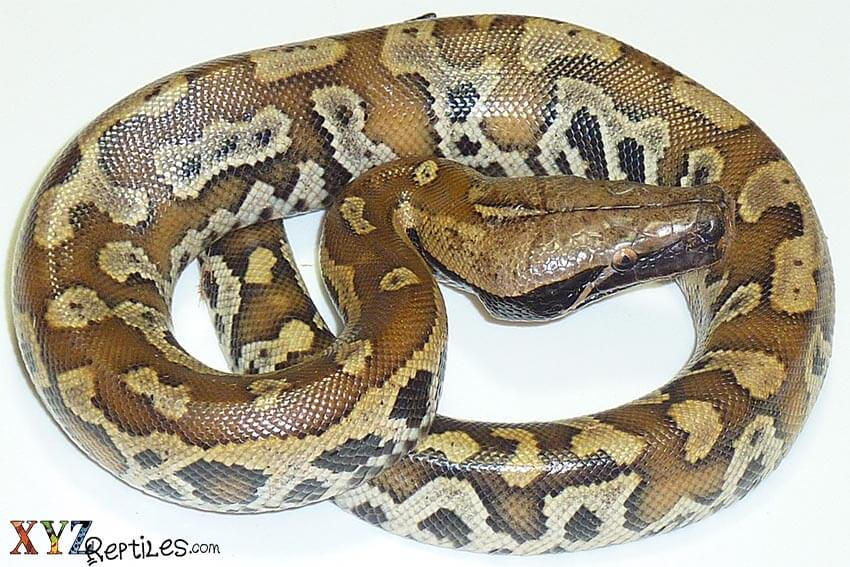 blood python for sale