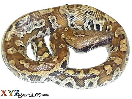 red blood python for sale