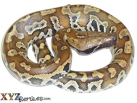 Baby Red Blood Python