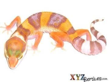 Adult Albino Leopard Gecko
