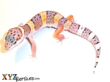 Baby High Yellow Leopard Gecko