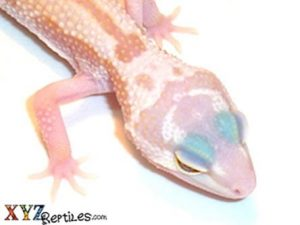 Baby Patternless Leopard Gecko