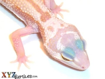 Baby Patternless Leopard Gecko