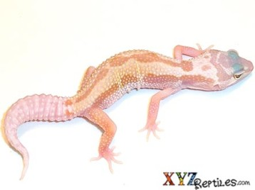 Patternless Leopard Gecko for Sale