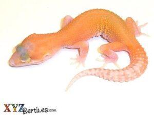 RAPTOR Leopard Gecko