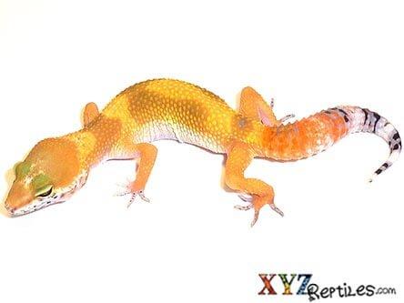 Super Hypo Tangerine Carrot Tail Leopard Gecko