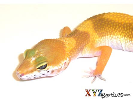 Super Hypo Tangerine Carrot Tail Leopard Gecko - xyzReptiles