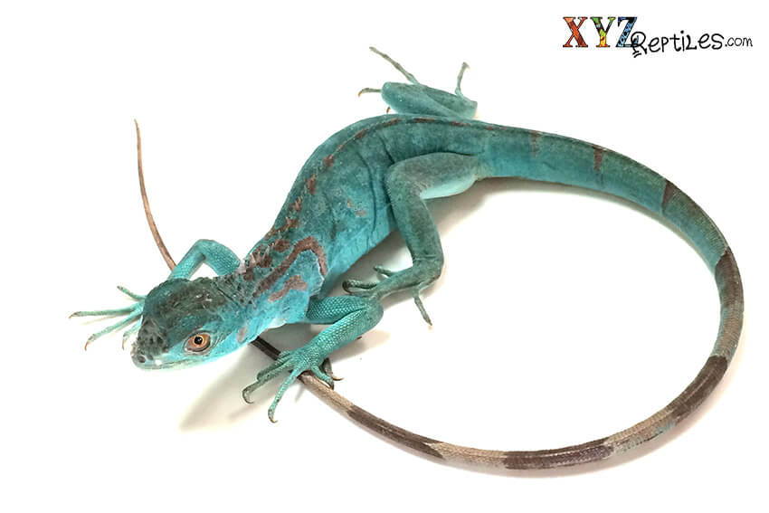 Is Lizard a right pet for you | Pets et cetera
