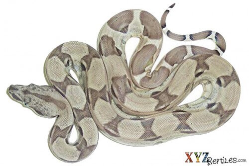 red tail boa morphs