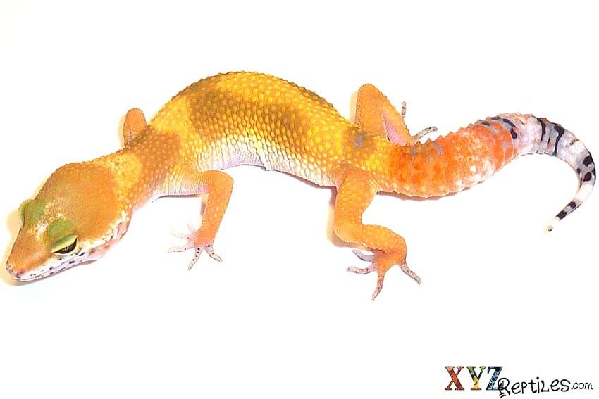 leopard geckos as pets