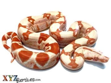 Baby Sunglow Boa Constrictor