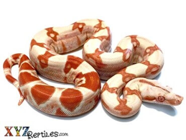 sung glow boa for sale