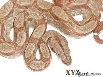 Caramel Albino Central American Boa