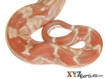 Caramel Sunglow Central American Boa