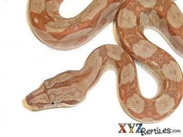 Baby Caramel Sunglow Central American Boa for Sale