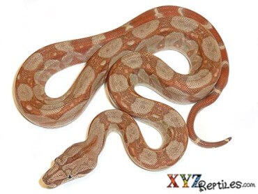 Caramel Sunglow Central Boa
