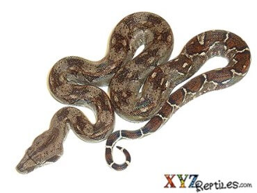 Snakes for Sale Online | Buy Snakes Online at xyzReptiles