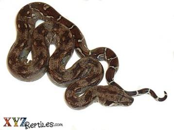 Baby Central American Boa