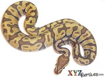 Baby Enchi Orange Ghost Ball Python