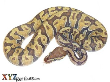 Enchi Orange Ghost Ball Python